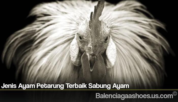 Jenis Ayam Petarung Terbaik Sabung Ayam